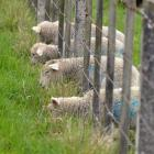 Changes to the British lamb industry as a result of Brexit are expected to impact market supply...