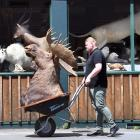 Jordan Proctor moves a mounted moose head into Proctors Auctions in George St yesterday. The...
