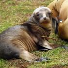 A 3-week-old sea lion wakes up after a long nap next to its mother in an Otago Peninsula forest....