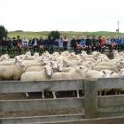 Sheep numbers in New Zealand have now fallen in 10 of the past 12 years. PHOTO: STEPHEN JAQUIERY