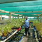 Oraka Aparima Runaka member Jade Maguire in his nursery with plants which he believes will...