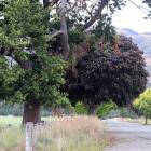 Trees in Tapanui's Cemetery Rd which could be targeted in a tree-trimming project. PHOTO: JACK...