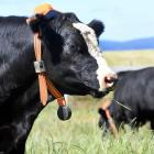 An Angus steer adjusts to a new accessory. Photos: Stephen Jaquiery