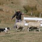 Lindsay Geddes and Key compete in the short head and yard at the Warepa Collie Club's annual...