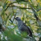 A kōkako fledgling perches on a tree near the Pirongia Forest Park Lodge. Photo: Amanda Rogers