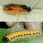 A poplar sawfly (top) and larva, which was recently spotted in Dunedin. PHOTO: MPI