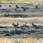 Rabbits remain the most significant pest in Otago. Photo: ODT files
