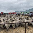 Buyers paid high prices at the Omarama lamb sale last week. Photo: Mike King/Omarama Gazette