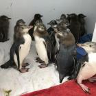 Packed together in safety at the Dunedin Wildlife Hospital last week, yellow-eyed penguin chicks...