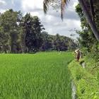 Cynthia Hardy, of Bambu Indah hotel,  leads a ''trash walk'' through rice paddies outside Ubud. ...