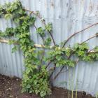Loganberries (pictured), boysenberries, tayberries and cultivated blackberries need to be pruned...