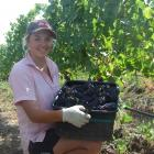 Grape picker Jodi King, of Mossburn, loads up a bucket of grapes at the Quartz Reef vineyard in...