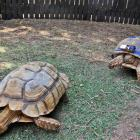 Arava, a disabled tortoise, right, crawls inside an enclosure with a custom skateboard attached...