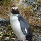Fiordland Crested Penguins, of which this is an example, have been returning to Milford  Sound in...