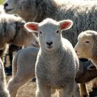 Lamb prices have remained at high levels after peaking in October last year. Photo: Stephen Jaquiery