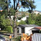 Waitaki District Council contractors remove a 100-year-old Memorial Oak in Severn St. Photo:...