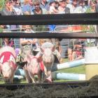 Pig racing was a crowd favourite during the Mayfield A&P Show on Saturday.