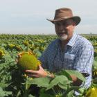 Foundation for Arable Research seed industry research centre manager Ivan Lawrie among sunflowers...