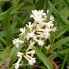 The Easter orchid has panicles of small white flowers and lance-shaped leaves. Photo: Alyth Grant
