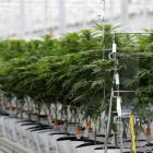 Pure Cann New Zealand has secured a $6 million investment from Australia's Cann Group, and plans...