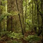 Our forests may be absorbeing up to 60% more CO2 than we thought. Photo: file