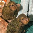 Kohitatea (left) and Tomua are two of the kakapo chicks in this year's record breeding season,...