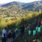 More than 60 volunteers spent Tuesday on Tobins Face, behind Arrowtown, planting 520 native...