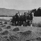 A reaper and binder at work on a fine cereal crop at Mr Williamson's farm, North Taieri. - Otago...