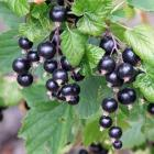 Blackcurrants bloom in early November, slightly ahead of the red and white kinds. Photos: Gillian...