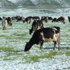 Dairy cows graze snow covered paddocks between Omarama and Twizel. Photo: Allied Press