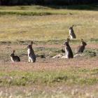 Farmers may seek a reclassification of rabbits as a pest of national importance. Photo by Stephen...