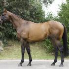 Howard Be Thy Name will stand at Grassyards Farm, on the Taieri Plan, next breeding season. Photo...