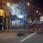 A NZ fur seal crosses a street in the middle of Oamaru on Wednesday. Photo: Glen Curry