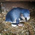 A 6-year-old female little penguin sits on the second egg discovered at the Oamaru Blue Penguin...