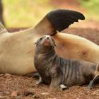 A sea lion mother Joy relaxes with her pup Rua near the Warrington domain months before Rua was...