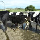 A persistently infected (PI) cow with Bovine Viral Diarrhoea hides in the middle of a group of...