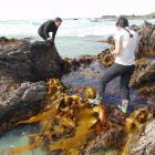 Otago University biologists Professor Jon Waters and PhD student Elahe Parvizi sample kelp on the...
