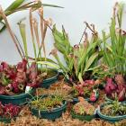 Carnivorous plants in the winter garden, Dunedin Botanic Garden. Photo: Linda Robertson