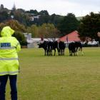 Police corral cows on the Hora Hora Rugby field after the beasts had run through nearby Hora Hora...