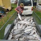 Piling dead salmon on the back of a trailer after what he said was an act of vandalism last year...