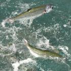 Feeding time at the salmon farm. Photos by Stephen Jaquiery.