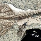 A fish fossil found at Foulden Maar, near Middlemarch, where Plaman Resources had proposed to...