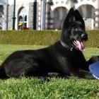 Relaxing in the sun outside the Dunedin Railway Station is police puppy Judge (13 weeks), a...