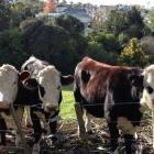 Kelmarna's three Hereford steers. Photo: Facebook via NZME