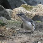 Oamaru's little penguins have survived in relatively high numbers despite stormy weather late...