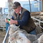 Earl Attfield drenches some of Waikeri Downs' trophy-winning merinos, on his property near...