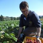 Heather Preedy, who with husband John Preedy owns Ettrick Gardens, collects fresh Central Otago...
