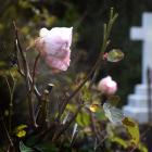 Some of the surviving heritage roses at Dunedin's Northern Cemetery. Photo: Gerard O'Brien