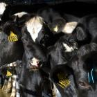 The New Zealand spring will be important for setting the direction for dairy prices. Photo:...