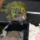 One of the kakapo being hosted at Dunedin Wildlife Hospital, all of which are about to be...